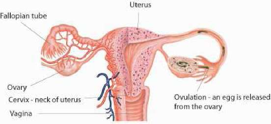 The uterus: structure, function and common problems | Family Doctor