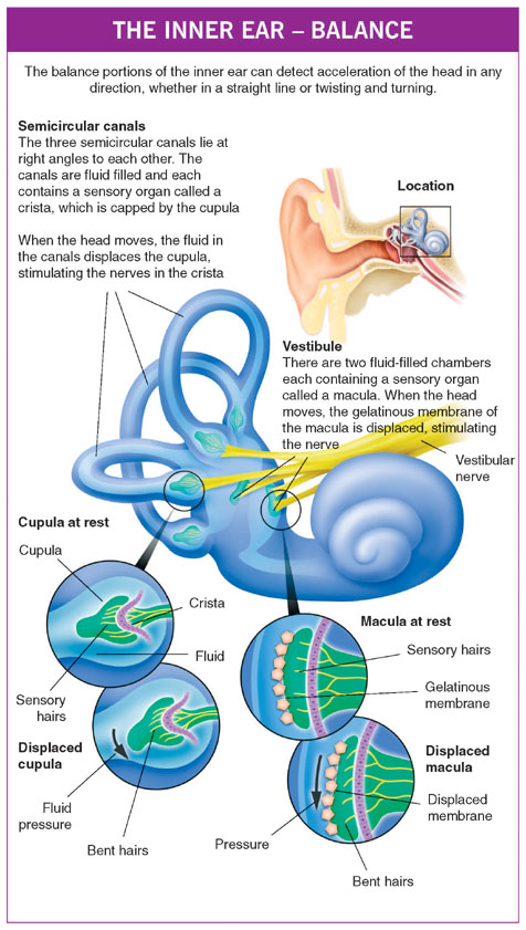 The Structure Of The Ear Family Doctor