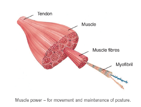 muscle section